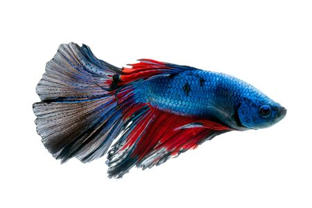 capture the moment: Capture the moving moment of red-blue siamese fighting fish isolated on white background. betta fish, betta splendens, ikan cupang.