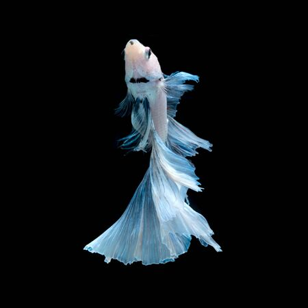 betta: Capture the moving moment of blue siamese fighting fish isolated on black background. betta fish, betta splendens, ikan cupang.