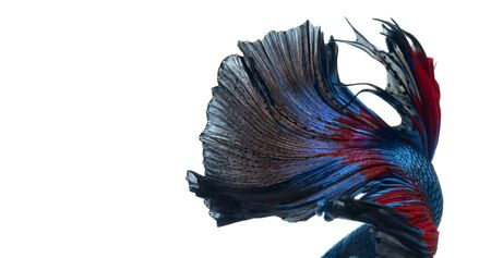 dragon swim: Textur of tail of red-blue siamese fighting fish isolated on white background. betta fish, betta splendens, ikan cupang.