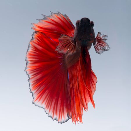 dragon swim: Capture the moving moment of red siamese fighting fish isolated on white background. betta fish, betta splendens, ikan cupang.