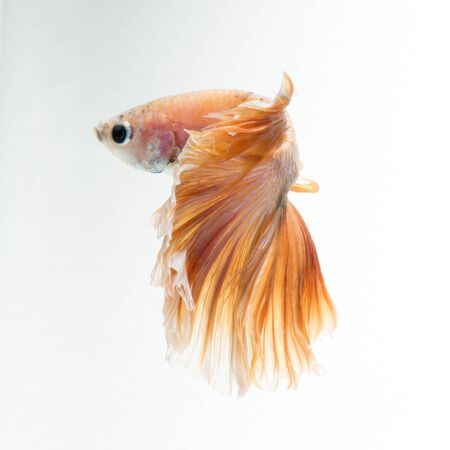 splendens: Capture the moving moment of yellow siamese fighting fish isolated on white background. betta fish, betta splendens, ikan cupang. Stock Photo