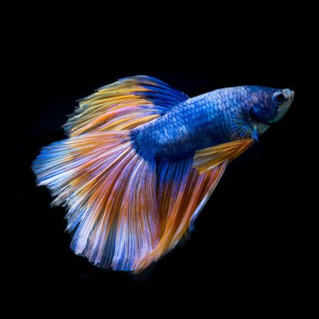 splendens: Capture the moving moment of yellow-blue siamese fighting fish isolated on black background. betta fish, betta splendens, ikan cupang.