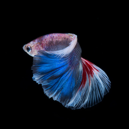 splendens: Capture the moving moment of red-blue siamese fighting fish isolated on black background. betta fish, betta splendens, ikan cupang.