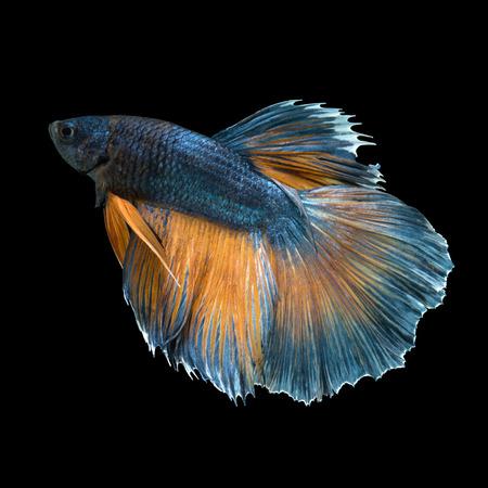dragon swim: Capture the moving moment of yellow-blue siamese fighting fish isolated on black background. betta fish, betta splendens, ikan cupang.