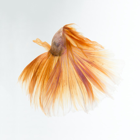 capture the moment: Capture the moving moment of yellow siamese fighting fish isolated on white background. betta fish, betta splendens, ikan cupang. Stock Photo