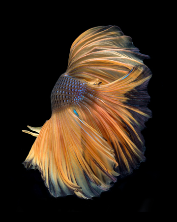 splendens: Capture the moving moment of yellow siamese fighting fish isolated on black background. betta fish, betta splendens, ikan cupang.