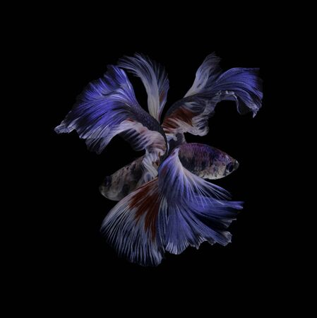 fineart: Capture the moving moment of red-blue siamese fighting fish isolated on black background. Betta fish