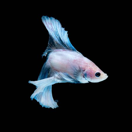 blue siamese: Capture the moving moment of blue siamese fighting fish isolated on black background. Betta fish.