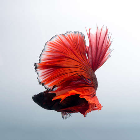 dragon swim: Capture the moving moment of red siamese fighting fish isolated on white background. Betta fish.