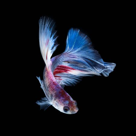 fineart: Betta fish in black background. Capture the moving moment of red-blue siamese fighting fish isolated on black background. Betta fish.