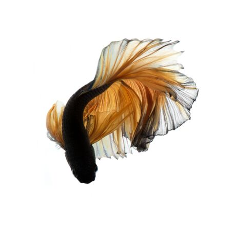 capture the moment: Capture the moving moment of yellow siamese fighting fish isolated on white background. Betta fish.