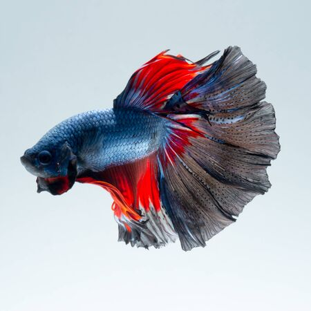 capture the moment: Capture the moving moment of red-blue siamese fighting fish isolated on gray background. betta fish.