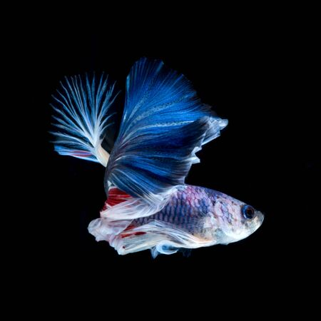 betta: Capture the moving moment of red-blue siamese fighting fish isolated on black background. Betta fish