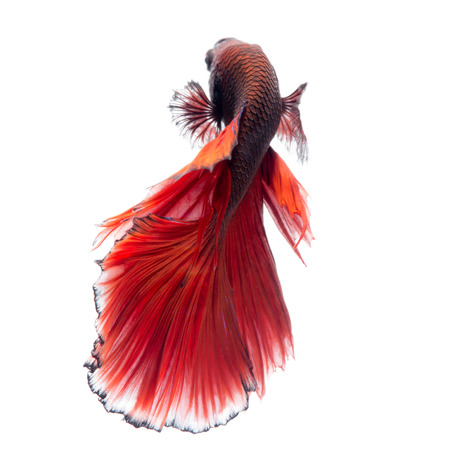 betta: Capture the moving moment of red siamese fighting fish isolated on white background. Betta fish. Fish of Thailand Stock Photo