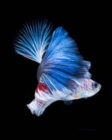 fineart: Betta fish in black background. Capture the moving moment of red-blue siamese fighting fish isolated on black background. Betta fish. Fish of Thailand