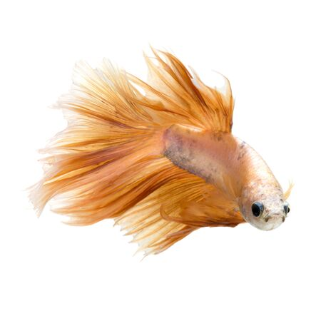 fineart: Capture the moving moment of peach color siamese fighting fish isolated on white background. Betta fish. Fish of Thailand