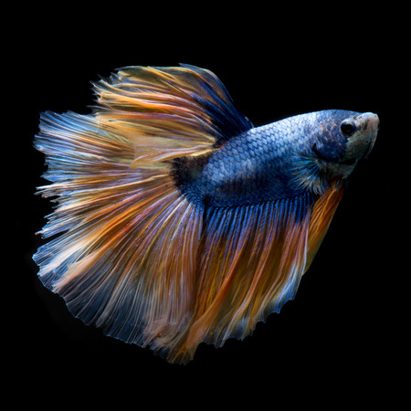 fineart: Capture the moving moment of yellow blue siamese fighting fish isolated on black background. Betta fish Stock Photo