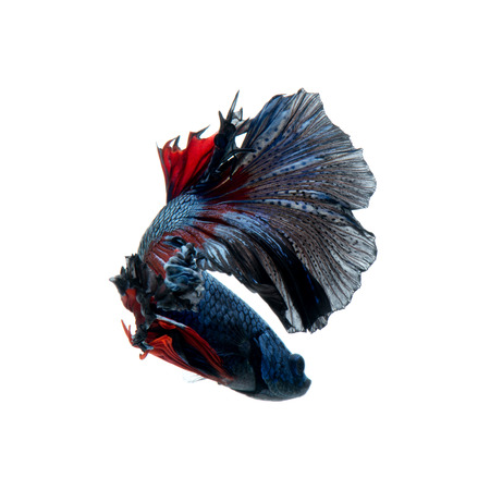 Capture the moving moment of red-blue siamese fighting fish isolated on white background. betta fish.