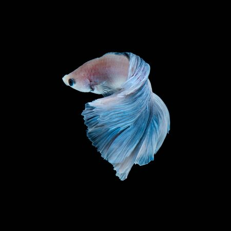capture the moment: Capture the moving moment of blue siamese fighting fish isolated on black background. betta fish.