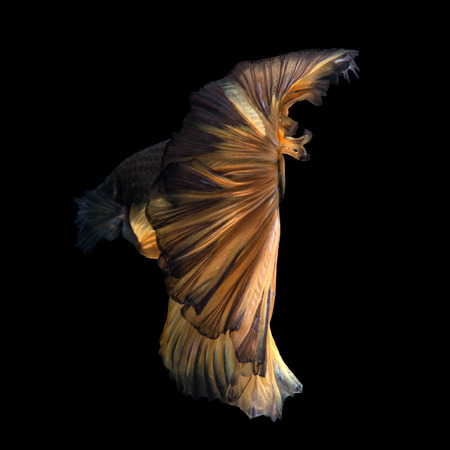 dragon swim: Capture the moving moment of yellow siamese fighting fish isolated on black background. Betta fish.