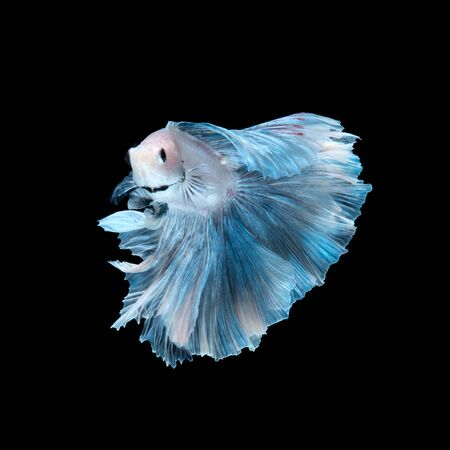 blue fish: Capture the moving moment of blue siamese fighting fish isolated on black background. betta fish.