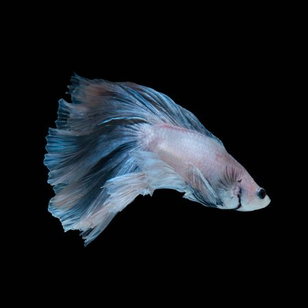 dragon swim: Capture the moving moment of blue siamese fighting fish isolated on black background. betta fish.