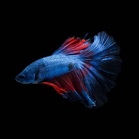 capture the moment: Capture the moving moment of red-blue siamese fighting fish isolated on black background. betta fish.