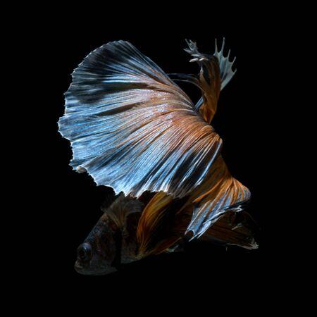 capture the moment: Capture the moving moment of yellow blue siamese fighting fish isolated on black background. Betta fish Stock Photo