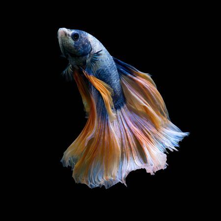 dragon swim: Capture the moving moment of yellow blue siamese fighting fish isolated on black background. Betta fish Stock Photo