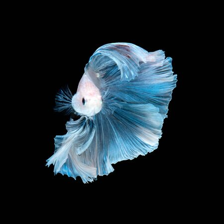 betta splendens: Capture the moving moment of blue siamese fighting fish isolated on black background. betta fish.