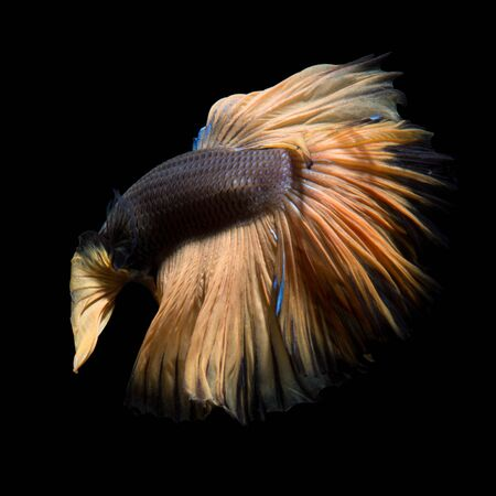 capture the moment: Capture the moving moment of yellow siamese fighting fish isolated on black background. Betta fish.