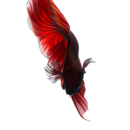 Capture the moving moment of red siamese fighting fish isolated on white background. Betta fish.