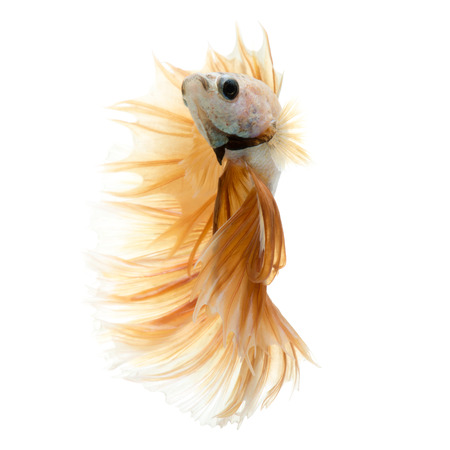 dragon swim: Capture the moving moment of peach color siamese fighting fish isolated on white background. Betta fish. Stock Photo