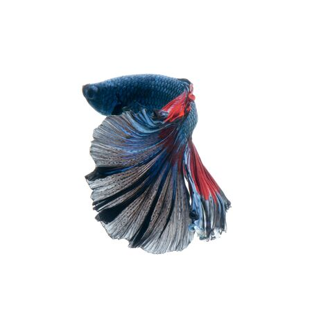 Capture the moving moment of red-blue siamese fighting fish isolated on white  background. betta fish. Stock Photo