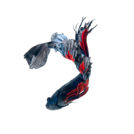 dragon swim: Capture the moving moment of red-blue siamese fighting fish isolated on white  background. betta fish. Stock Photo