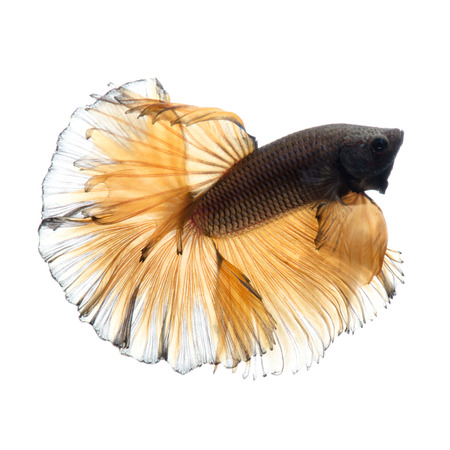 dragon swim: Capture the moving moment of yellow siamese fighting fish isolated on white background. Betta fish.