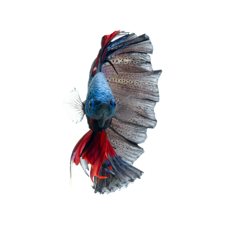 dragon swim: Capture the moving moment of red-blue siamese fighting fish isolated on white background. betta fish.