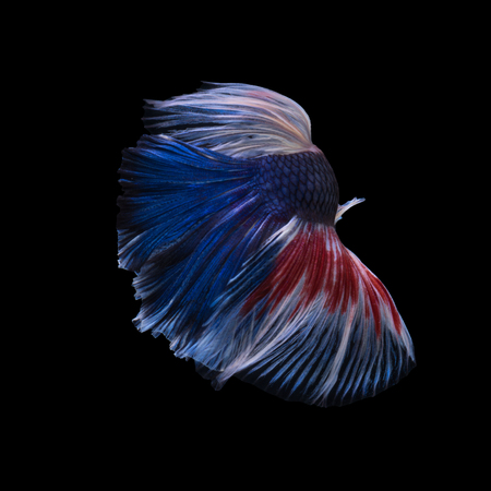 capture the moment: Capture the moving moment of red-blue siamese fighting fish isolated on black background. Betta fish