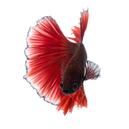 fineart: Capture the moving moment of red siamese fighting fish isolated on white background. Stock Photo