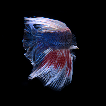 capture the moment: Capture the moving moment of red-blue siamese fighting fish isolated on black background.