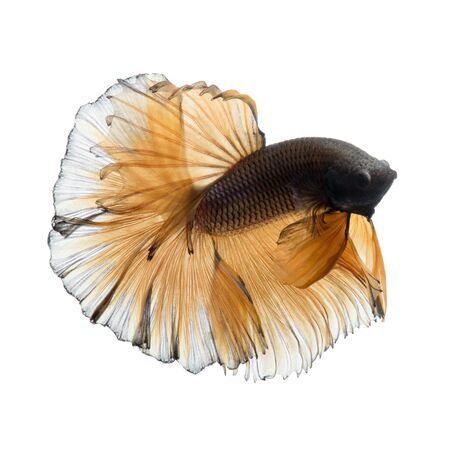 dragon swim: Capture the moving moment of yellow siamese fighting fish isolated on white background.