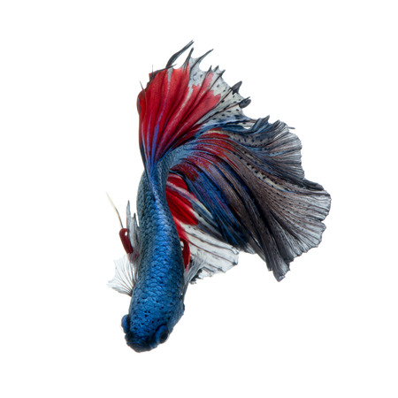 capture the moment: Capture the moving moment of red-blue siamese fighting fish isolated on white background. Stock Photo