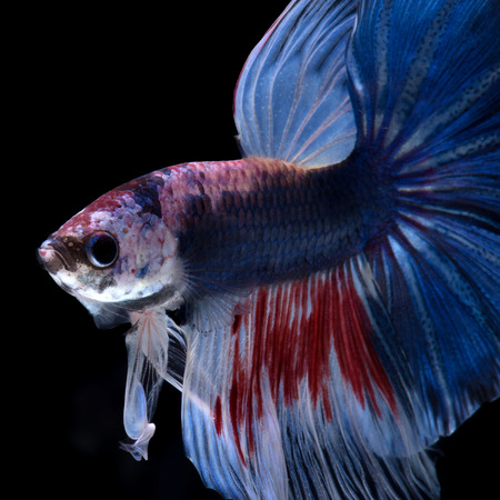 fineart: Capture the moving moment of red-blue siamese fighting fish isolated on black background.