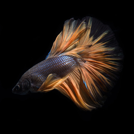 black fish: Capture the moving moment of yellow siamese fighting fish isolated on black background. Betta fish.