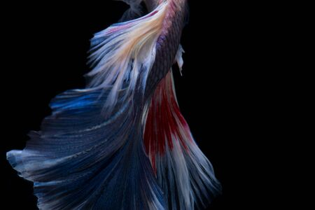 capture the moment: Betta fish in black background. Capture the moving moment of red-blue siamese fighting fish isolated on black background. Betta fish. Fish of Thailand