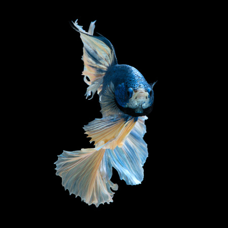 capture the moment: Capture the moving moment of blue siamese fighting fish isolated on black background.