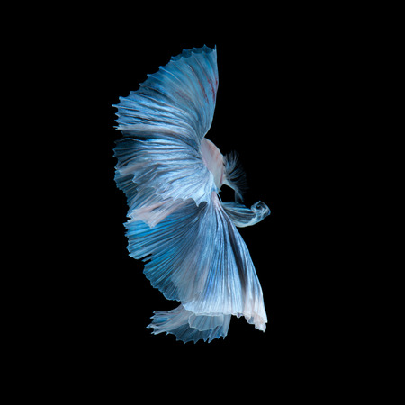 betta splendens: Capture the moving moment of blue siamese fighting fish isolated on black background.