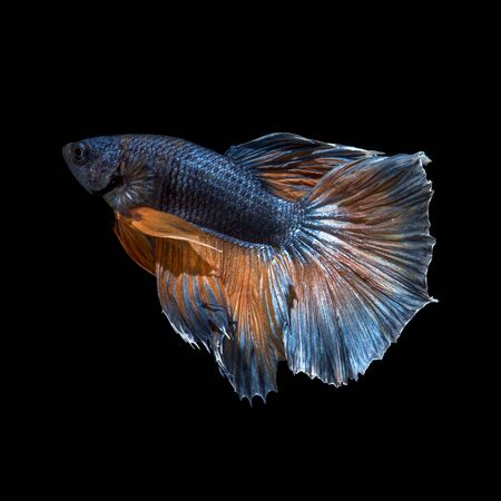 capture the moment: Capture the moving moment of yellow blue siamese fighting fish isolated on black background.