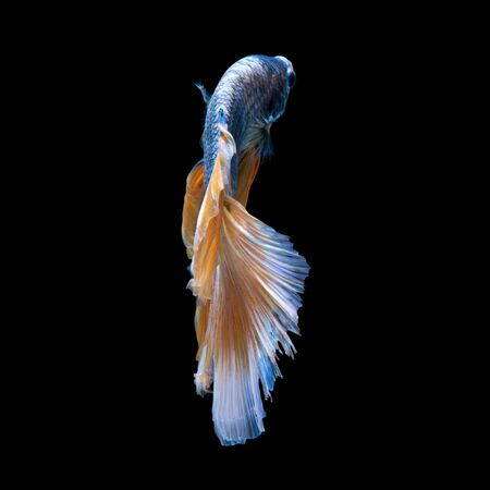 capture the moment: Capture the moving moment of blue-yellow siamese fighting fish isolated on black background. Betta fish.