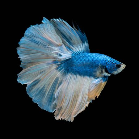 blue fish: Capture the moving moment of blue siamese fighting fish isolated on black background.
